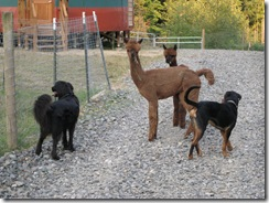 09-16-08 alpacas and dogs 010