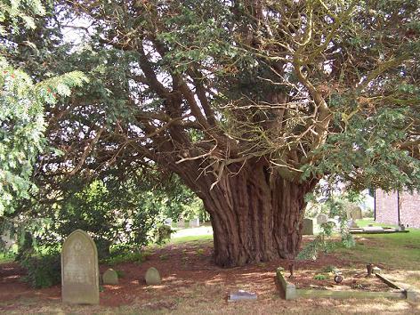 taxus 1200 jaar oud