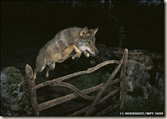 The quick grey wolf jumped over the wooden gate.